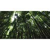 005 bamboo (stock movie HD material)